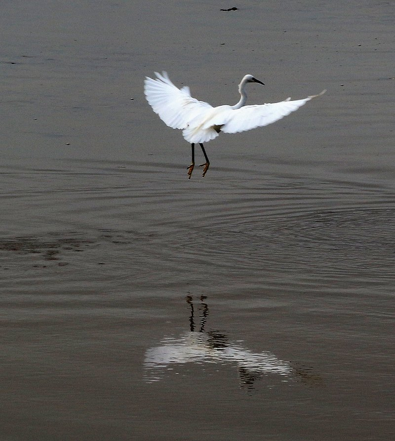 Egret coming in to land