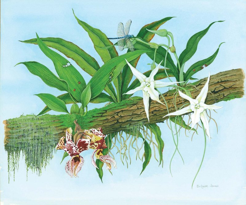 Orchids: Stanhopia Devoniensis and Angraecum Sesquipedale