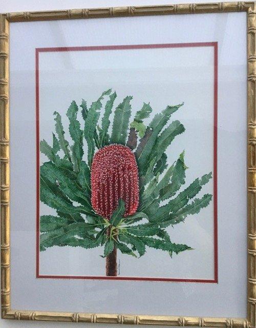 Red Banksia  (Banksia Menziesii OR Firewood Banksia)