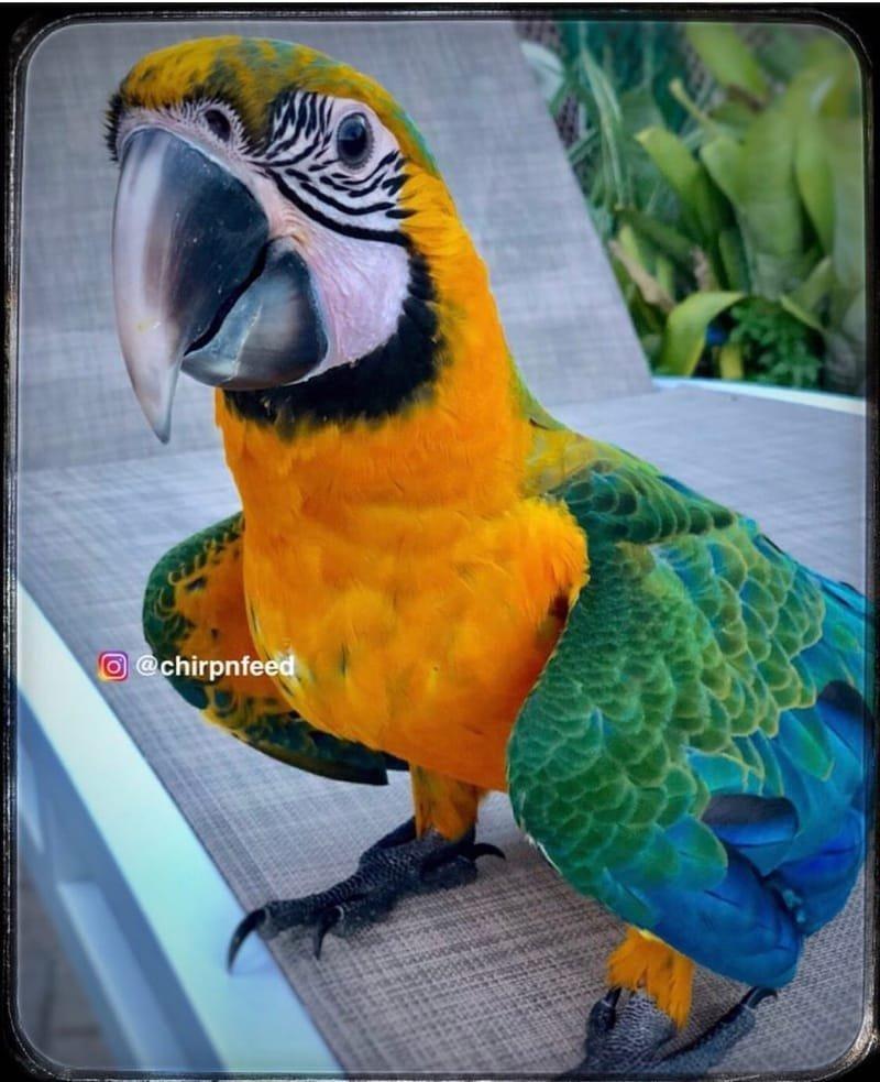 Home of Maui Sunrise Macaw