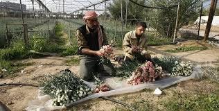 نتيجة بحث الصور عن حقول ورود الجوري بقطاع غزة