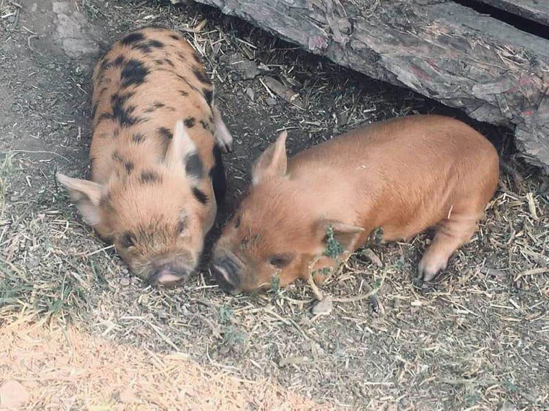 Two orange piglets